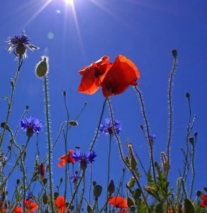 language learners flowers blue sky poppies